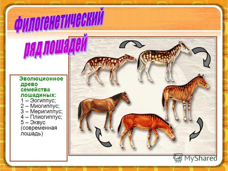 Эволюционное древо семейства лошадиных: 1 – Эогиппус; 2 – Миогиппус; 3 – Меригиппус; 4 – Плиогиппус; 5 – Эквус (современная лошадь)