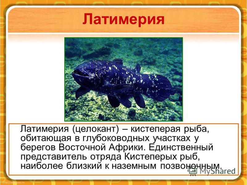 Латимерия Латимерия (целакант) – кистеперая рыба, обитающая в глубоководных участках у берегов Восточной Африки. Единственный представитель отряда Кистеперых рыб, наиболее близкий к наземным позвоночным.