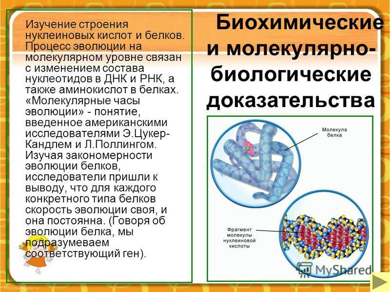 Биохимические и молекулярно- биологические доказательства Изучение строения нуклеиновых кислот и белков. Процесс эволюции на молекулярном уровне связан с изменением состава нуклеотидов в ДНК и РНК, а также аминокислот в белках. «Молекулярные часы эво