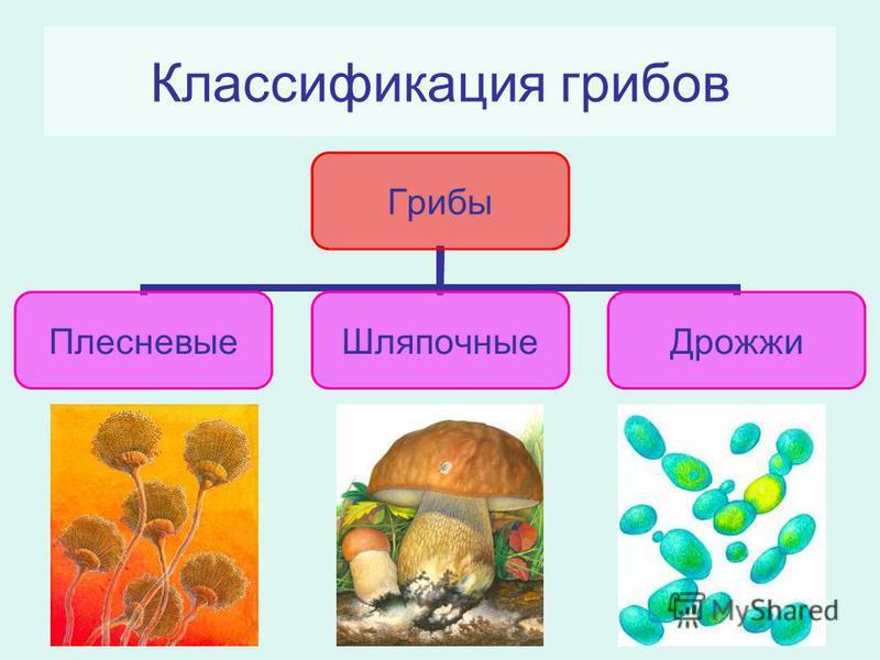 Классификация грибов Грибы Плесневые ШляпочныеДрожжи