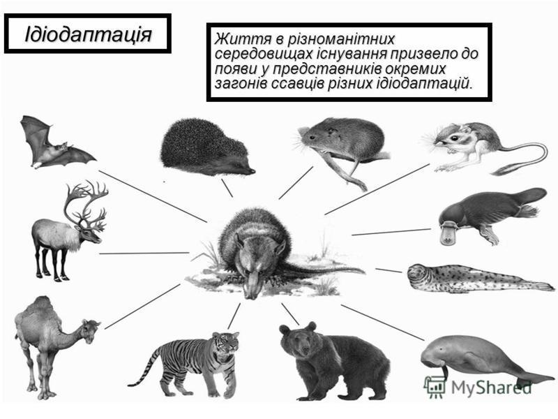 Ідіодаптація Життя в різноманітних середовищах існування призвело до появи у представників окремих загонів ссавців різних ідіодаптацій.