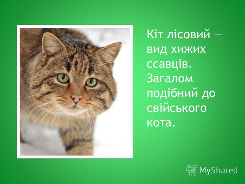 Кіт лісовий вид хижих ссавців. Загалом подібний до свійського кота.