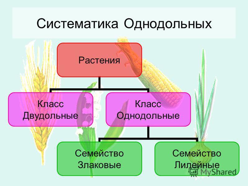 Растения Класс Двудольные Класс Однодольные Семейство Злаковые Семейство Лилейные Систематика Однодольных