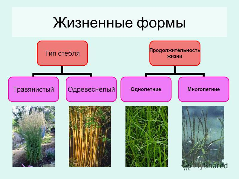 Жизненные формы Тип стебля Травянистый Одревеснелый Продолжительность жизни Однолетние Многолетние