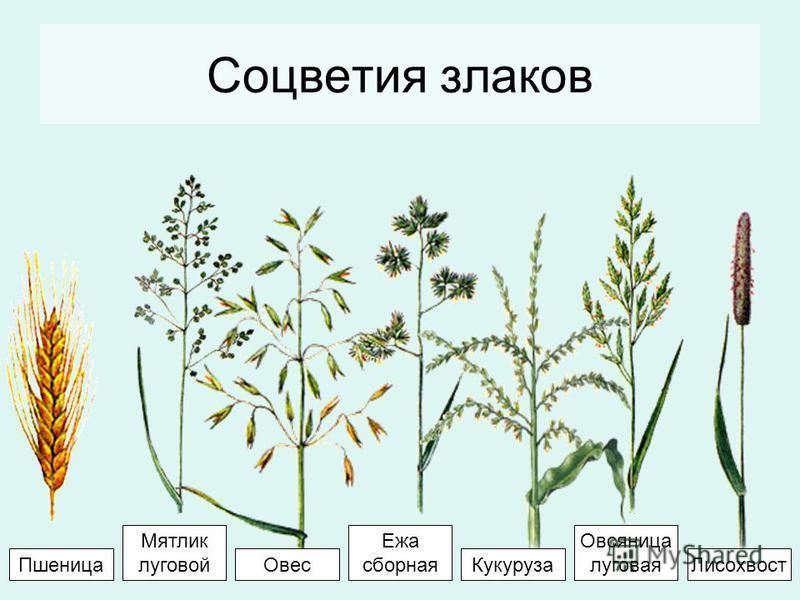 Соцветия злаков Ежа сборная Овсяница луговая Мятлик луговой Кукуруза ОвесЛисохвост Пшеница
