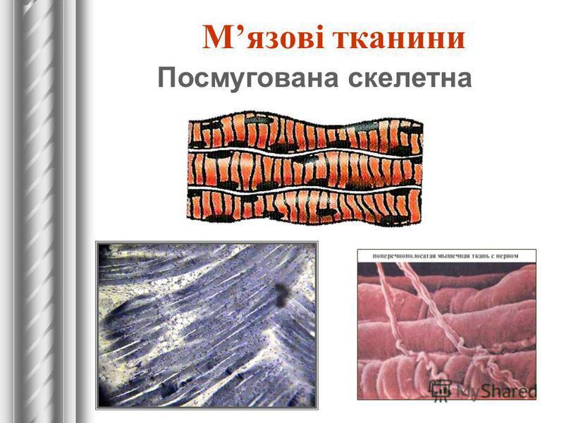 Мязові тканини Посмугована скелетна