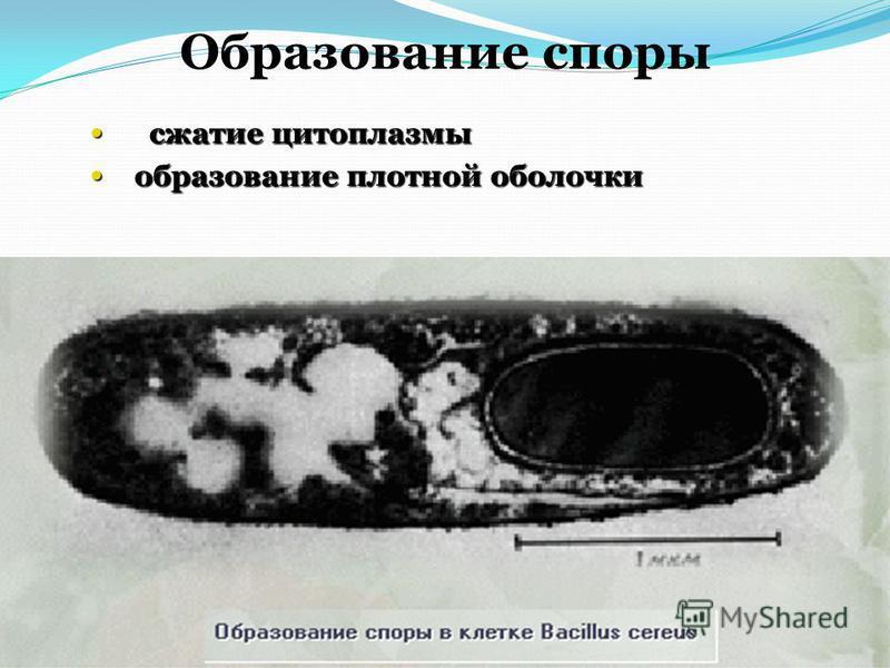 Образование споры сжатие цитоплазмы сжатие цитоплазмы образование плотной оболочки образование плотной оболочки