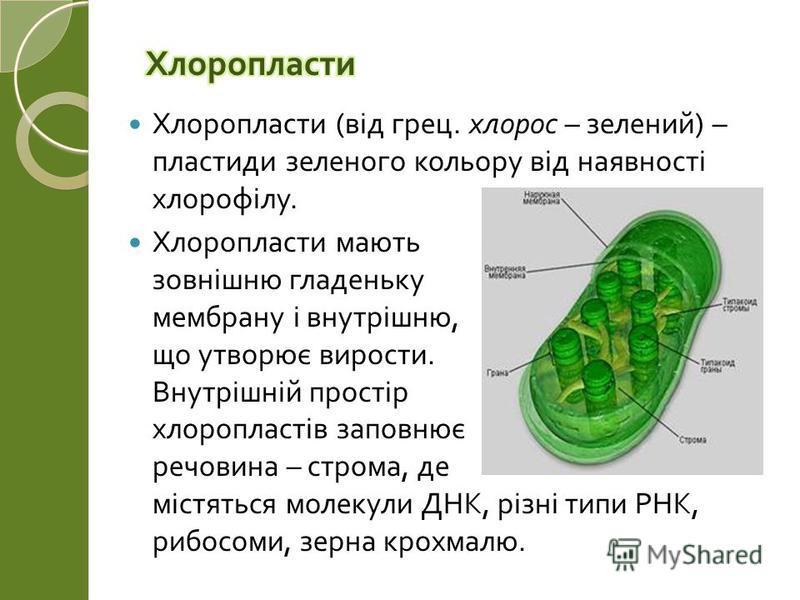 Хлоропласти ( від грец. хлорос – зелений ) – пластиди зеленого кольору від наявності хлорофілу. Хлоропласти мають зовнішню гладеньку мембрану і внутрішню, що утворює вирости. Внутрішній простір хлоропластів заповнює речовина – строма, де містяться мо
