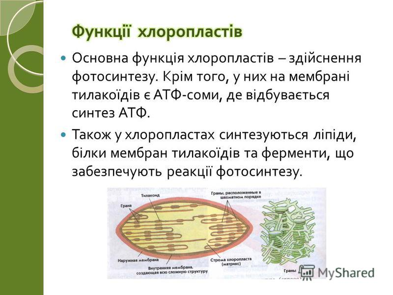 Основна функція хлоропластів – здійснення фотосинтезу. Крім того, у них на мембрані тилакоїдів є АТФ - соми, де відбувається синтез АТФ. Також у хлоропластах синтезуються ліпіди, білки мембран тилакоїдів та ферменти, що забезпечують реакції фотосинте