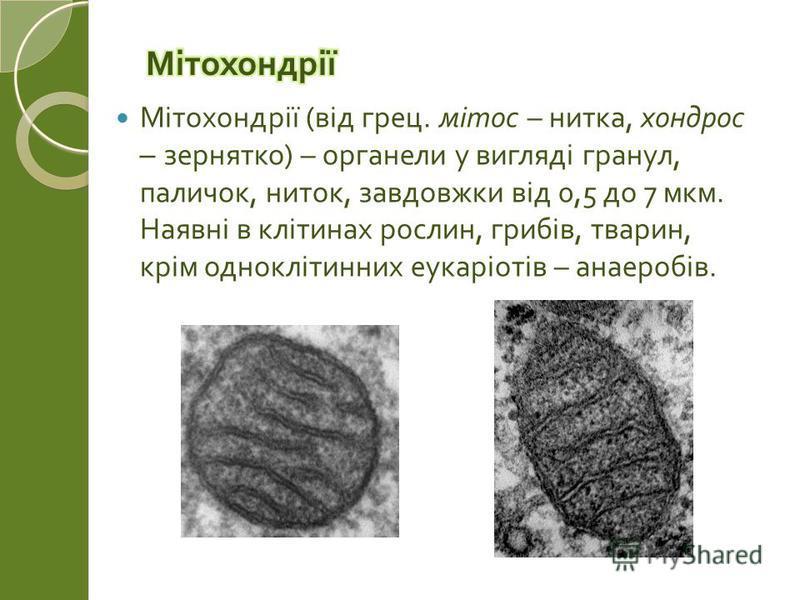 Мітохондрії ( від грец. мітос – нитка, хондрос – зернятко ) – органели у вигляді гранул, паличок, ниток, завдовжки від 0,5 до 7 мкм. Наявні в клітинах рослин, грибів, тварин, крім одноклітинних еукаріотів – анаеробів.