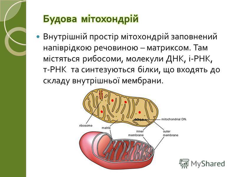 Внутрішній простір мітохондрій заповнений напіврідкою речовиною – матриксом. Там містяться рибосоми, молекули ДНК, і - РНК, т - РНК та синтезуються білки, що входять до складу внутрішньої мембрани.