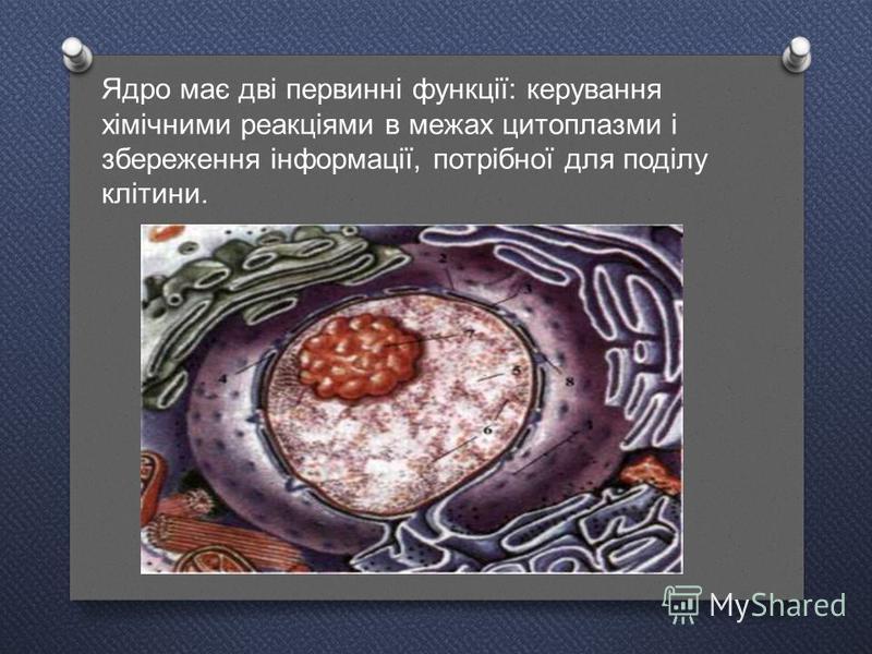 Ядро має дві первинні функції : керування хімічними реакціями в межах цитоплазми і збереження інформації, потрібної для поділу клітини.