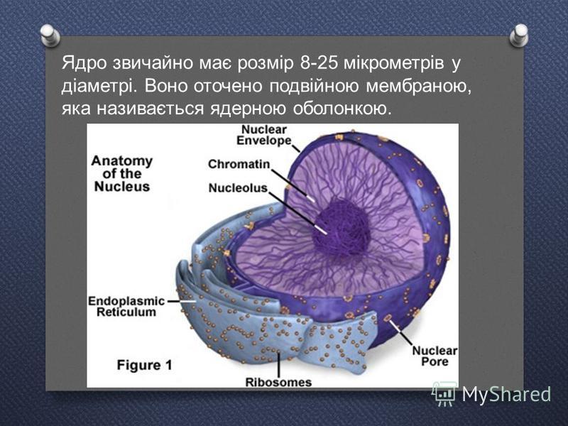 Ядро звичайно має розмір 8-25 мікрометрів у діаметрі. Воно оточено подвійною мембраною, яка називається ядерною оболонкою.