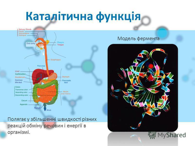 Каталітична функція Модель фермента Полягає у збільшенні швидкості різних реакцій обміну речовин і енергії в організмі.