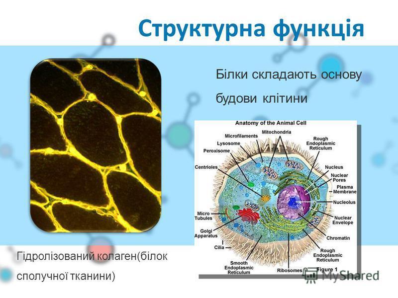 Структурна функція Білки складають основу будови клітини Гідролізований колаген(білок сполучної тканини)