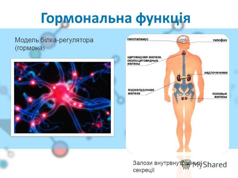 Гормональна функція Залози внутрвнутрішньої секреції Модель білка-регулятора (гормона )