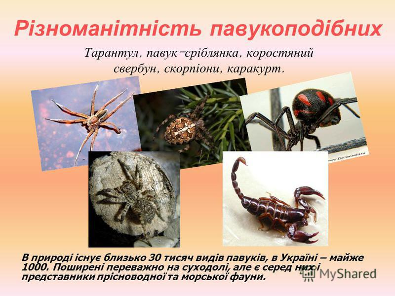 Різноманітність павукоподібних Тарантул, павук - сріблянка, коростяний свербун, скорпіони, каракурт. В природі існує близько 30 тисяч видів павуків, в Україні – майже 1000. Поширені переважно на суходолі, але є серед них і представники прісноводної т