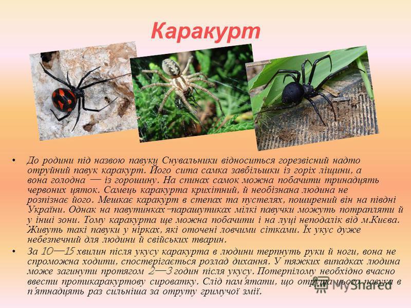Каракурт До родини під назвою павуки Снувальники відноситься горезвісний надто отруйний павук каракурт. Його сита самка завбільшки із горіх ліщини, а вона голодна із горошину. На спинах самок можна побачити тринадцять червоних цяток. Самець каракурта