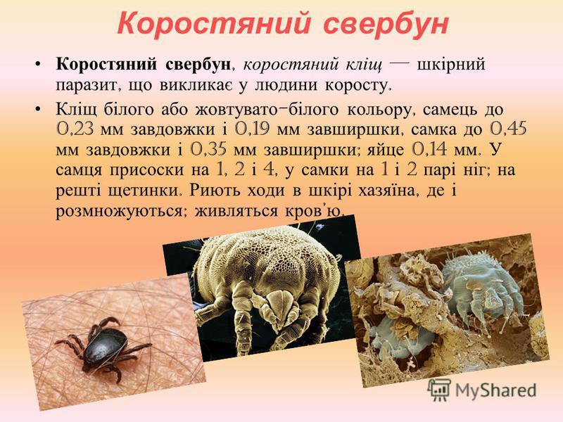 Коростяний свербун Коростяний свербун, коростяний кліщ шкірний паразит, що викликає у людини коросту. Кліщ білого або жовтувато - білого кольору, самець до 0,23 мм завдовжки і 0,19 мм завширшки, самка до 0,45 мм завдовжки і 0,35 мм завширшки ; яйце 0