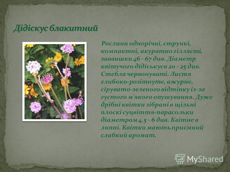 Рослини однорічні, стрункі, компактні, акуратно гіллясті, заввишки 46 - 67 див. Діаметр квітучого дідіськуса 20 - 25 див. Стебла червонуваті. Листя глибоко-розітнуте, ажурне, сірувато-зеленого відтінку із-за густого м'якого опушування. Дуже дрібні кв