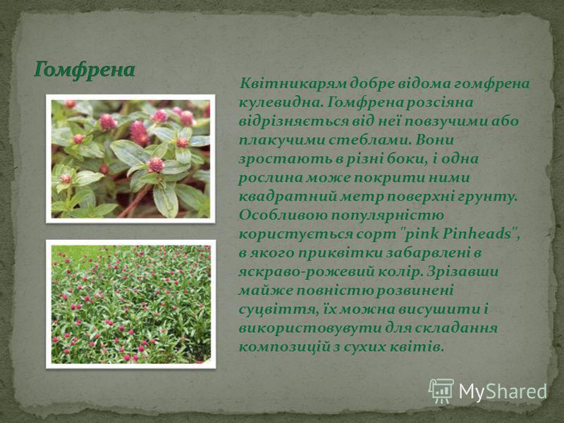 Квітникарям добре відома гомфрена кулевидна. Гомфрена розсіяна відрізняється від неї повзучими або плакучими стеблами. Вони зростають в різні боки, і одна рослина може покрити ними квадратний метр поверхні грунту. Особливою популярністю користується