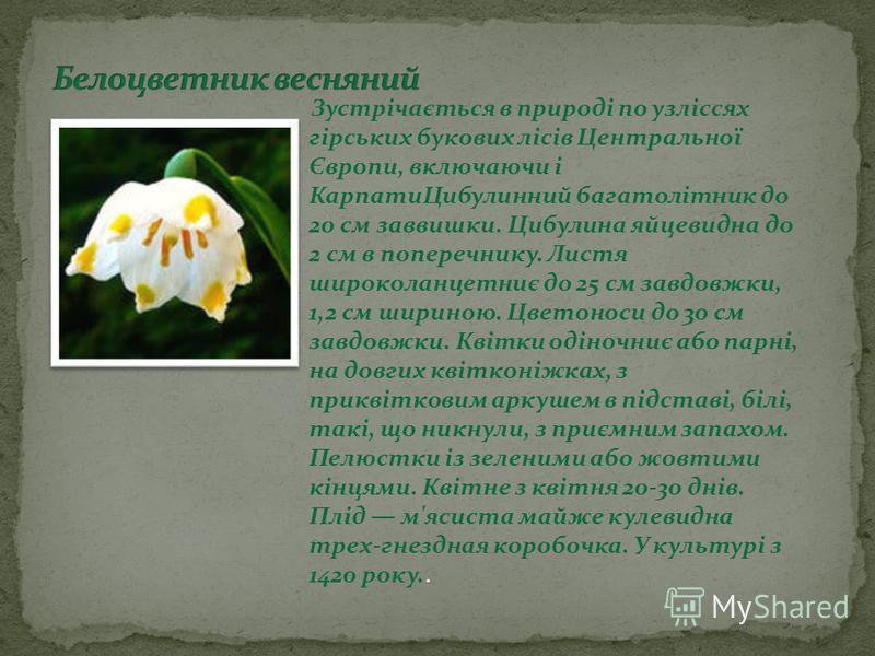 Зустрічається в природі по узліссях гірських букових лісів Центральної Європи, включаючи і КарпатиЦибулинний багатолітник до 20 см заввишки. Цибулина яйцевидна до 2 см в поперечнику. Листя широколанцетниє до 25 см завдовжки, 1,2 см шириною. Цветоноси