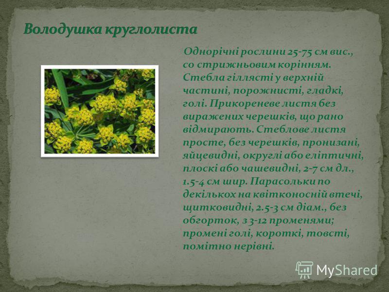 Однорічні рослини 25-75 см вис., cо стрижньовим корінням. Стебла гіллясті у верхній частині, порожнисті, гладкі, голі. Прикореневе листя без виражених черешків, що рано відмирають. Стеблове листя просте, без черешків, пронизані, яйцевидні, округлі аб