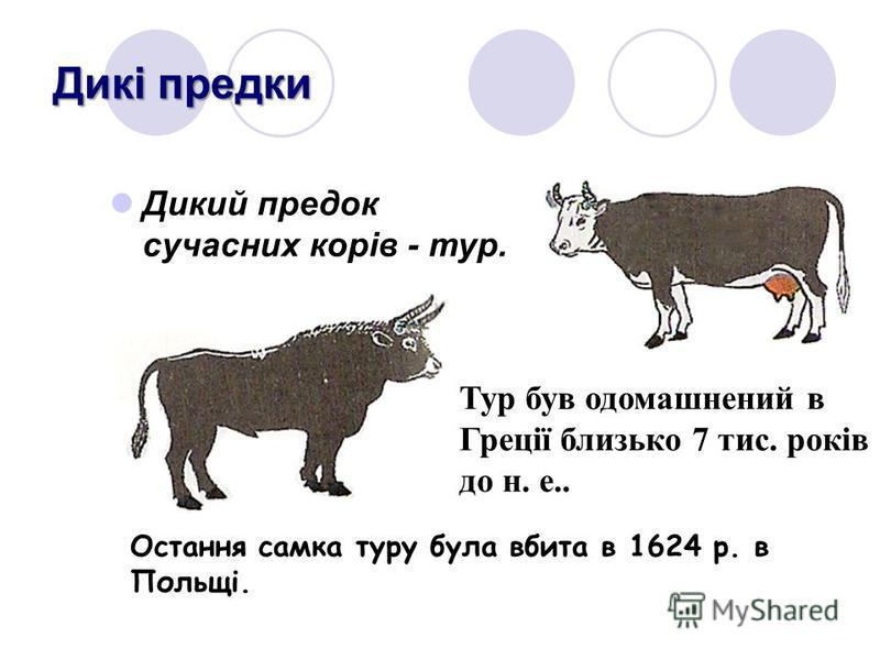 Дикі предки Дикий предок сучасних корів - тур. Тур був одомашнений в Греції близько 7 тис. років до н. е.. Остання самка туру була вбита в 1624 р. в Польщі.