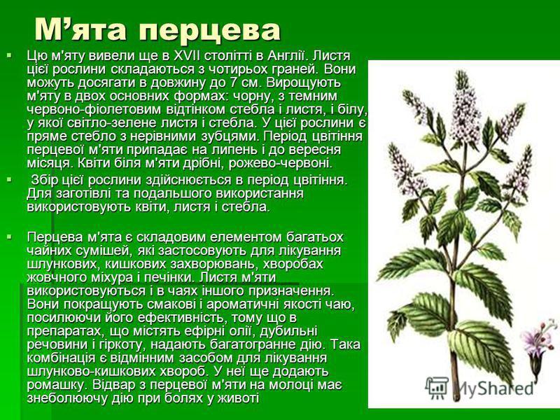 Мята перцева Цю м'яту вивели ще в XVII столітті в Англії. Листя цієї рослини складаються з чотирьох граней. Вони можуть досягати в довжину до 7 см. Вирощують м'яту в двох основних формах: чорну, з темним червоно-фіолетовим відтінком стебла і листя, і