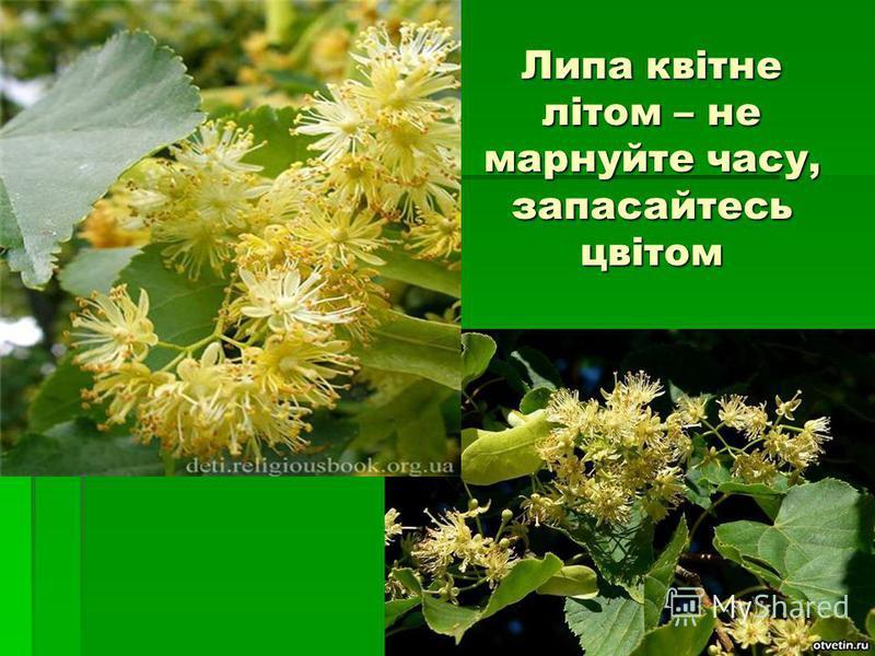 Липа квітне літом – не марнуйте часу, запасайтесь цвітом