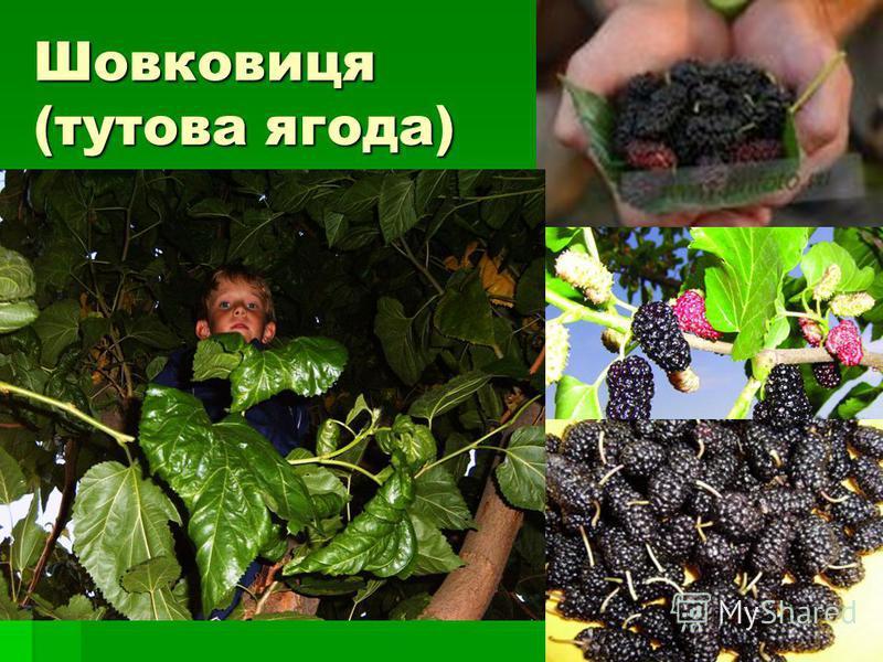 Шовковиця (тутова ягода)