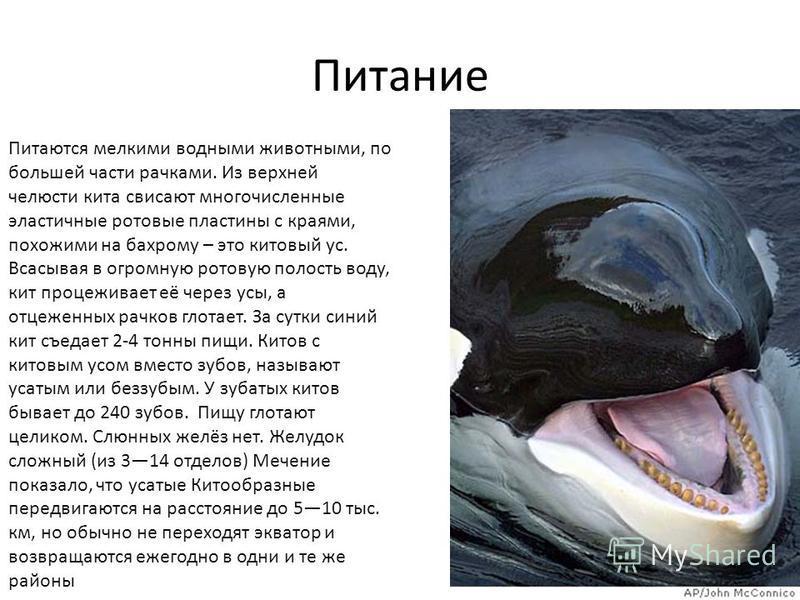 Питаются мелкими водными животными, по большей части рачками. Из верхней челюсти кита свисают многочисленные эластичные ротовые пластины с краями, похожими на бахрому – это китовый ус. Всасывая в огромную ротовую полость воду, кит процеживает её чере