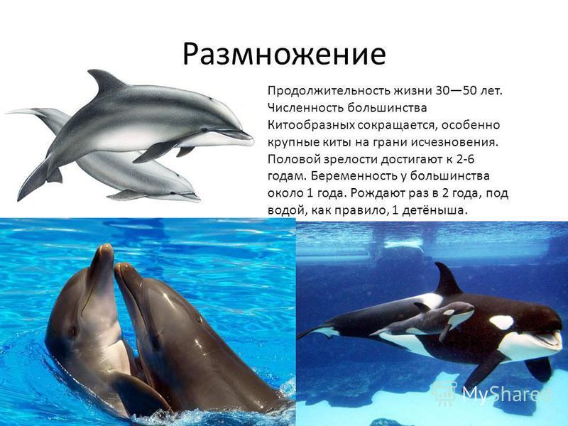 Продолжительность жизни 3050 лет. Численность большинства Китообразных сокращается, особенно крупные киты на грани исчезновения. Половой зрелости достигают к 2-6 годам. Беременность у большинства около 1 года. Рождают раз в 2 года, под водой, как пра