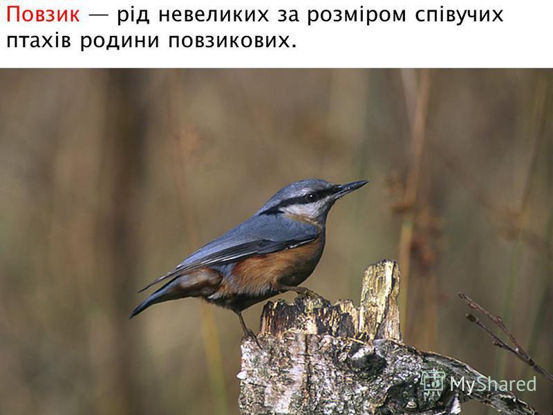 Повзик рід невеликих за розміром співучих птахів родини повзикових.