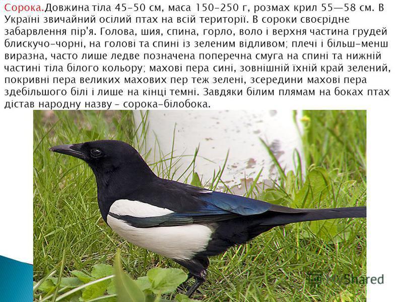 Сорока.Довжина тіла 45-50 см, маса 150-250 г, розмах крил 5558 см. В Україні звичайний осілий птах на всій території. В сороки своєрідне забарвлення пір'я. Голова, шия, спина, горло, воло і верхня частина грудей блискучо-чорні, на голові та спині із