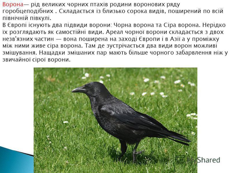 Ворона рід великих чорних птахів родини воронових ряду горобцеподібних. Складається із близько сорока видів, поширений по всій північній півкулі. В Європі існують два підвиди ворони: Чорна ворона та Сіра ворона. Нерідко їх розглядають як самостійні в
