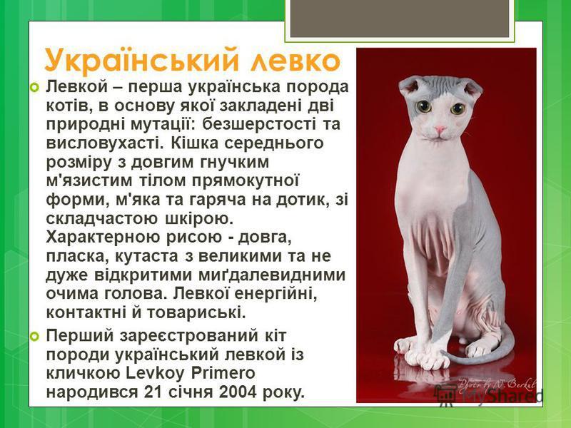 Український левко Левкой – перша українська порода котів, в основу якої закладені дві природні мутації: безшерстості та висловухасті. Кішка середнього розміру з довгим гнучким м'язистим тілом прямокутної форми, м'яка та гаряча на дотик, зі складчасто