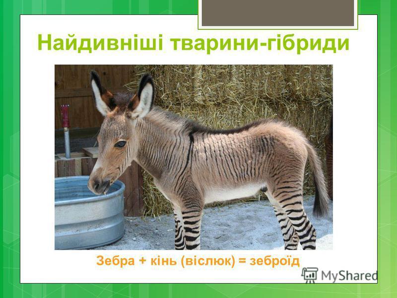 Найдивніші тварини-гібриди Зебра + кінь (віслюк) = зеброїд