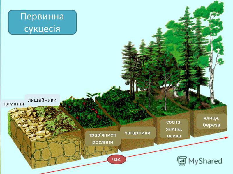 Первинна сукцесія час каміння лишайники трав'янисті рослини чагарники сосна, ялина, осика ялиця, береза