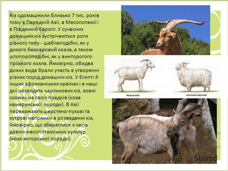 Кіз одомашнили близько 7 тис. років тому в Передній Азії, в Месопотамії і в Південній Європі. У сучасних домашніх кіз зустрічаються роги різного типу - шаблеподібні, як у дикого безоаровий козла, а також штопороподібні, як у винторогого гірського коз