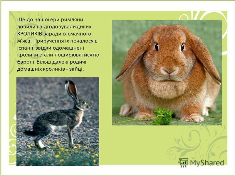 Ще до нашої ери римляни ловили і відгодовували диких КРОЛИКІВ заради їх смачного м'яса. Приручення їх почалося в Іспанії, звідки одомашнені кролики стали поширюватися по Європі. Більш далекі родичі домашніх кроликів - зайці.