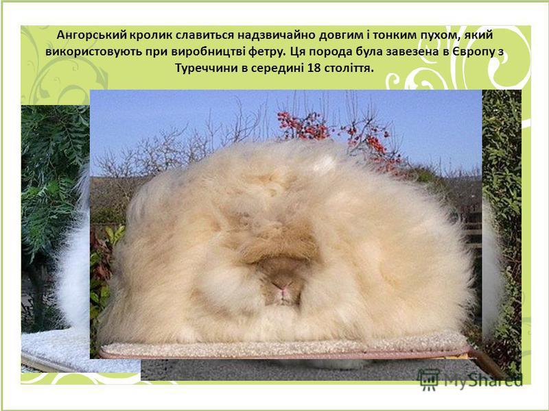 Ангорський кролик славиться надзвичайно довгим і тонким пухом, який використовують при виробництві фетру. Ця порода була завезена в Європу з Туреччини в середині 18 століття.