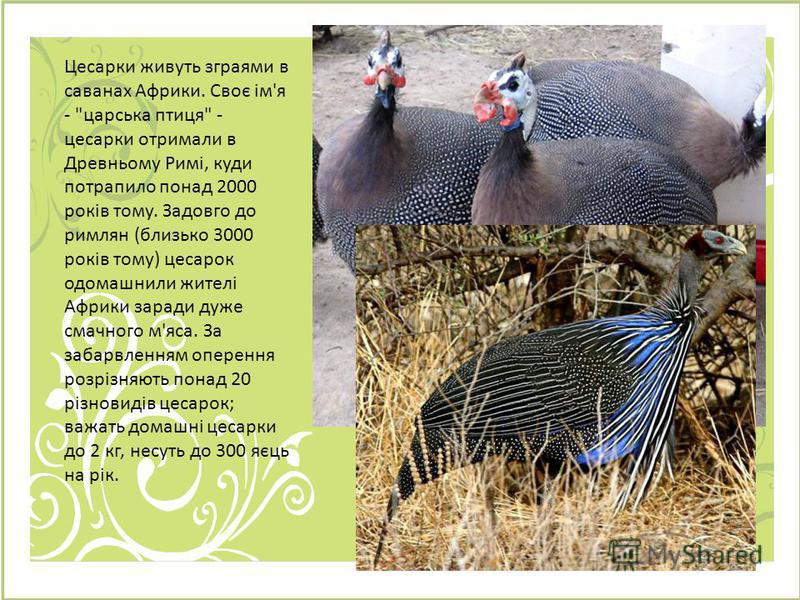 Цесарки живуть зграями в саванах Африки. Своє ім'я -