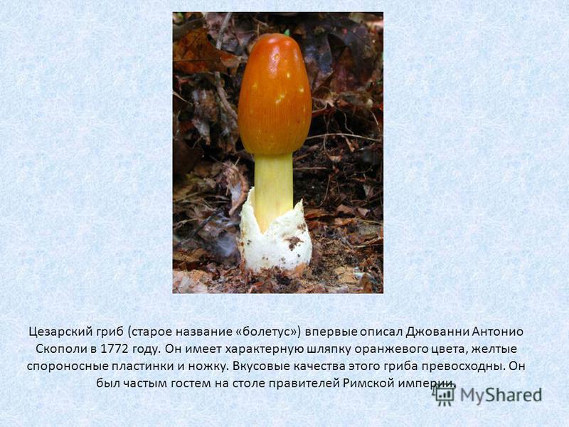 Цезарский гриб (старое название «болетус») впервые описал Джованни Антонио Скополи в 1772 году. Он имеет характерную шляпку оранжевого цвета, желтые спороносные пластинки и ножку. Вкусовые качества этого гриба превосходны. Он был частым гостем на сто