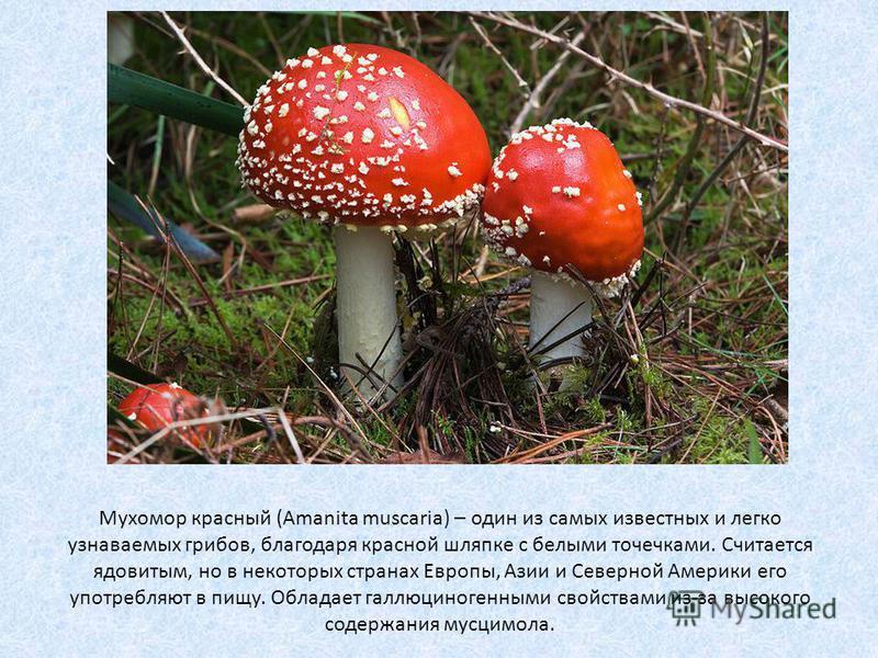 Мухомор красный (Amanita muscaria) – один из самых известных и легко узнаваемых грибов, благодаря красной шляпке с белыми точечками. Считается ядовитым, но в некоторых странах Европы, Азии и Северной Америки его употребляют в пищу. Обладает галлюцино