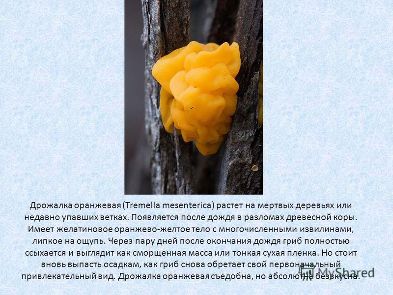 Дрожалка оранжевая (Tremella mesenterica) растет на мертвых деревьях или недавно упавших ветках. Появляется после дождя в разломах древесной коры. Имеет желатиновое оранжево-желтое тело с многочисленными извилинами, липкое на ощупь. Через пару дней п