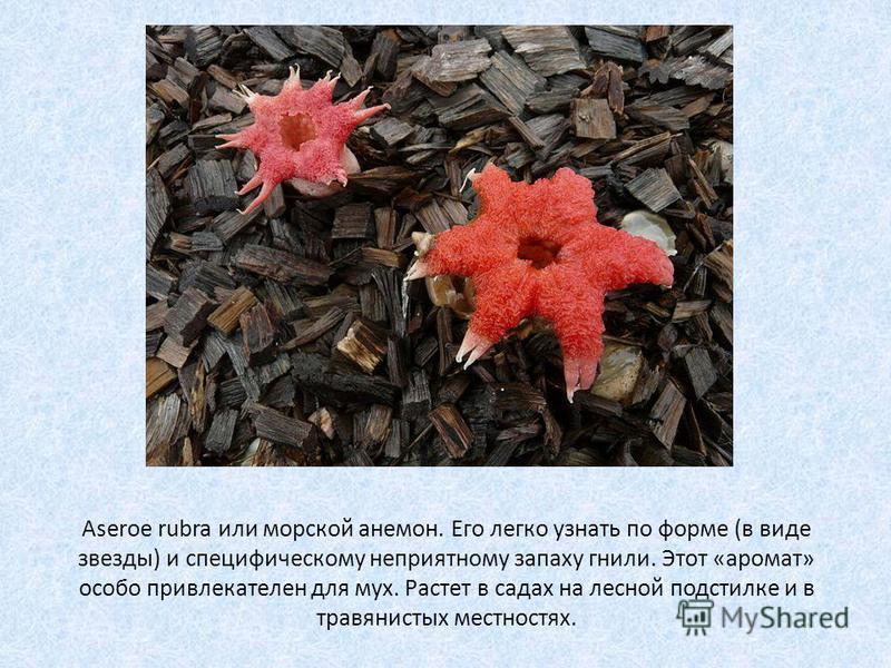 Aseroe rubra или морской анемон. Его легко узнать по форме (в виде звезды) и специфическому неприятному запаху гнили. Этот «аромат» особо привлекателен для мух. Растет в садах на лесной подстилке и в травянистых местностях.