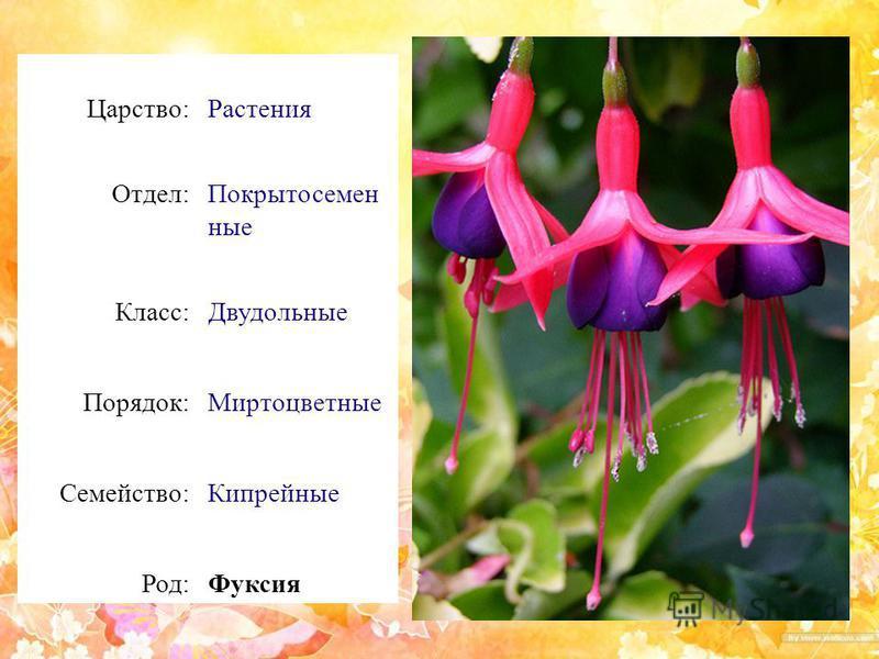 Царство:Растения Отдел:Покрытосемен ные Класс:Двудольные Порядок:Миртоцветные Семейство:Кипрейные Род:Фуксия