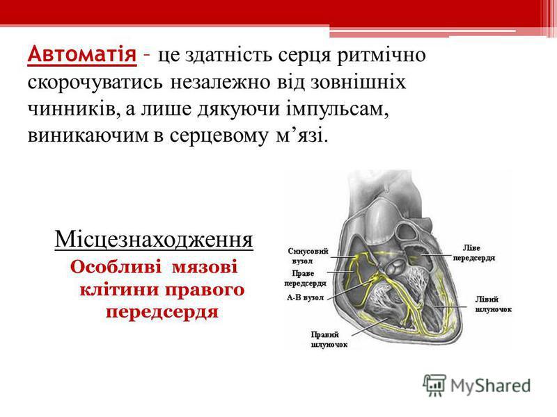 Автоматія – це здатність серця ритмічно скорочуватись незалежно від зовнішніх чинників, а лише дякуючи імпульсам, виникаючим в серцевому мязі. Місцезнаходження Особливі мязові клітини правого передсердя