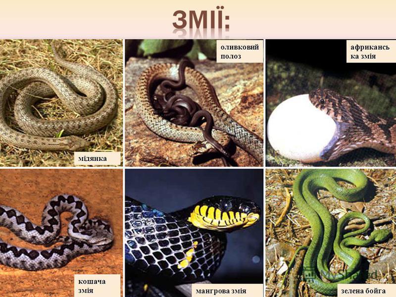 мідянка оливковий полоз африкансь ка змія кошача змія мангрова змія зелена бойга
